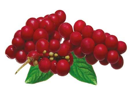 Schizandra Herb