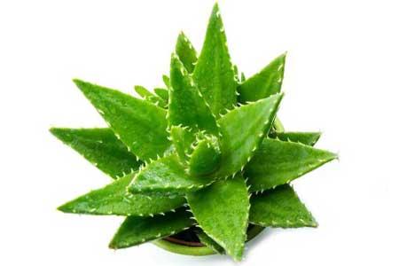 Aloevera Herb
