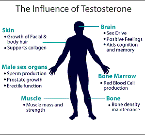 how testosterone works